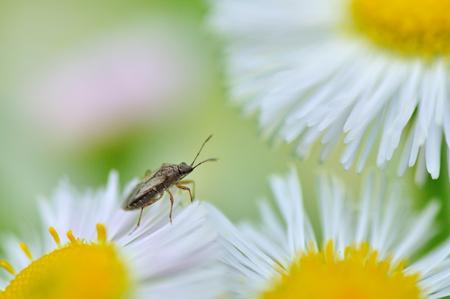 pentatomidae: a bug
