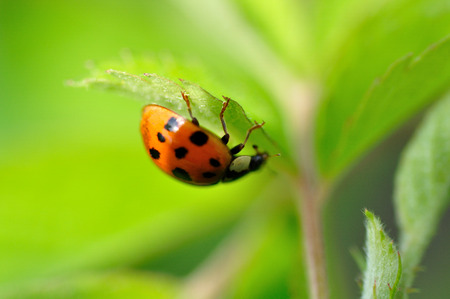 septempunctata: A ladybug Stock Photo