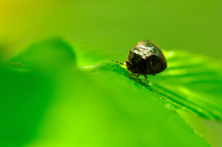 coccinella: A ladybug Stock Photo