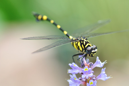odonata: A Dragonfly