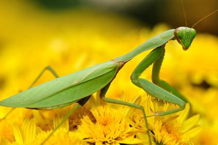 mantis: The praying mantis