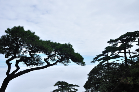 high sierra: Pine tree