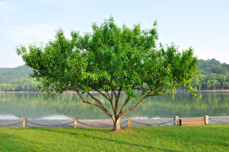peach tree: Peach tree at lake side