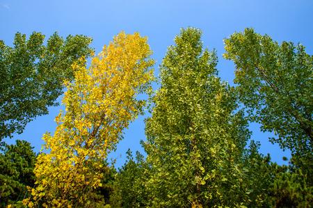 arbol alamo: Árbol de álamo