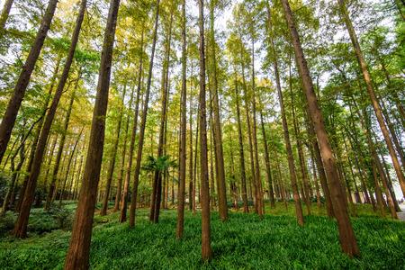 Metasequoia forest