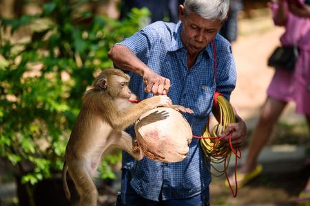 domestication: Koh Samui Thailand monkey show Editorial