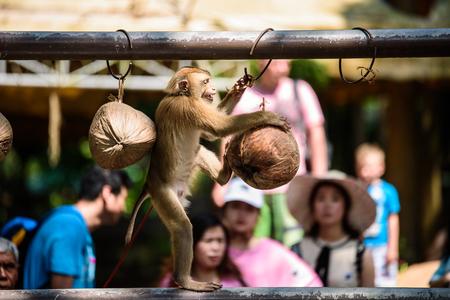 코 사무이 태국 원숭이 쇼 에디토리얼