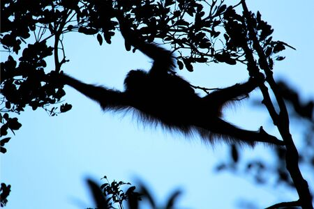 Silhouette of an Orang-Utan, hanging between trees and plants in front of the sky in the evening in Borneo, Indonesia, south-east Asia.