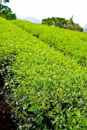 greentea farm in thailand