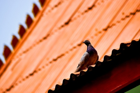 Pigeon on the roof Stock Photo