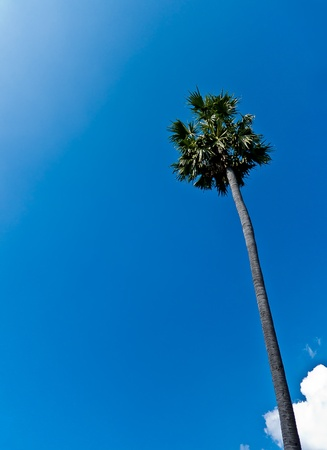 A Sugar palm tree and the blue sky photo