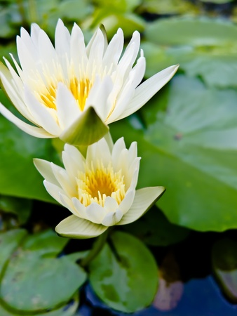 watergarden: Twos White lotus in jardiniere with Natural light