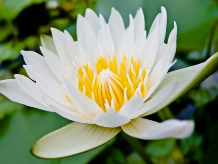 watergarden: White lotus in jardiniere with Natural light
