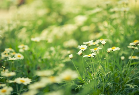 Daisies white flower in garden with nature light Stock Photo