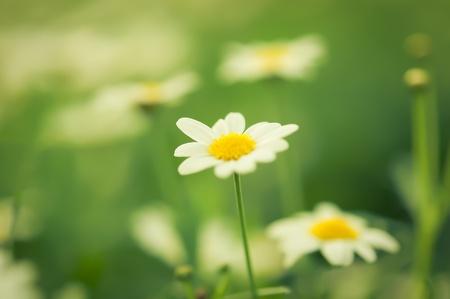Madeliefjes witte bloem in de tuin met de natuur licht