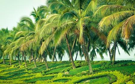 teveel Coconut in de tuin met de natuur licht Stockfoto