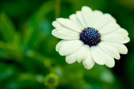 Daisies white flower in garden with nature light Stock Photo - 11871495