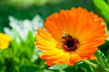 orange flower in garden with a bee