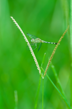 trithemis: dragonfly at rest green grass with green background