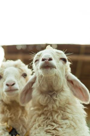 Twee schapen in de kraal met naturelight