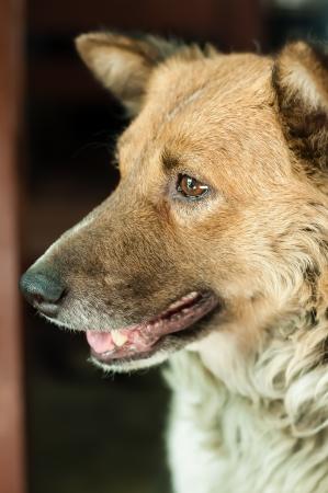 Thai dog Breed bangkeaw photo