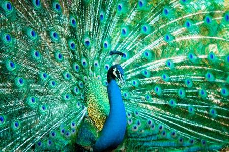 pavo real: Retrato de pavo real con plumas