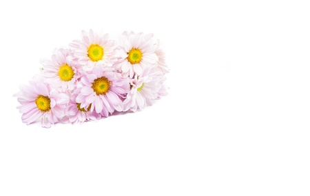 Blue Chrysanthemums flower isolate on white background