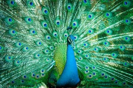 Portret van pauw met veren uit