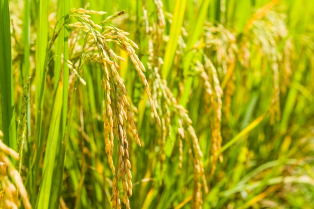 field of thai: close up paddy rice in filed of thailand