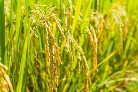 Close up padie in ingediend van thailand Stockfoto - 16056525