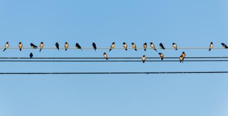 bandada de p�jaros: golondrinas demasiados en un alambre con el cielo azul Foto de archivo