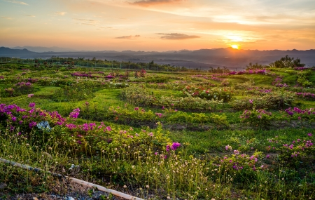 Flower field and sunset behind the mountains in thailand photo