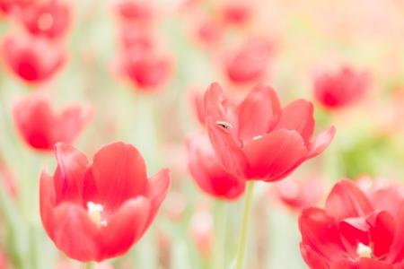 vele rode tulp bloem in de tuin met insect op blad soft focus Stockfoto