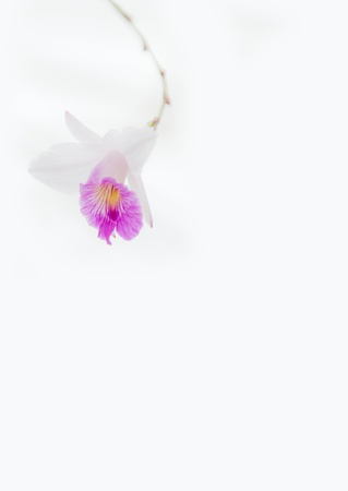 white violet vanda orchid on white background softly focus