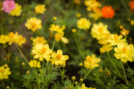 many yellow cosmos flower in garden Stock Photo