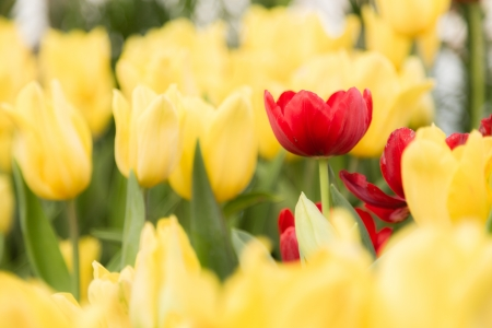 red tulips flower in the middle of yellow tulips flower in garden Stock Photo