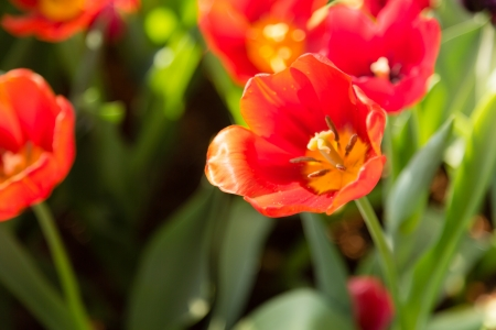 many red tulip flower bloom in garden Stock Photo