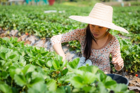 asian girl harvesting strawberry in strawberry farm in thailand photo