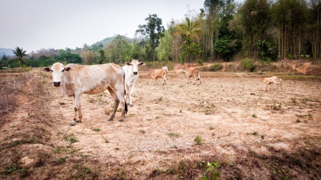 dry cow: cow in field dry season in thailand evening time Stock Photo