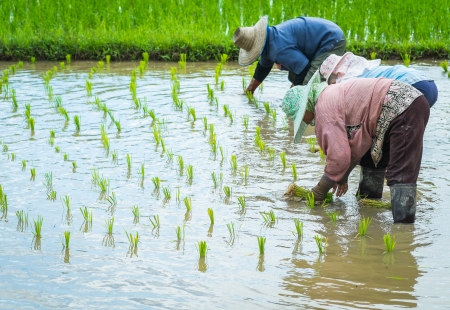 farmer transplant rice seedlings in field rice in daylight time photo