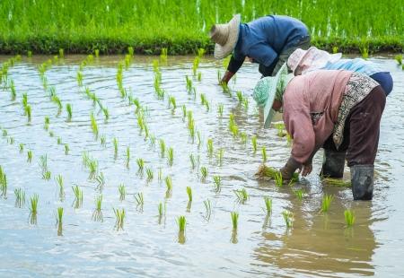 farmer transplant rice seedlings in field rice in daylight time