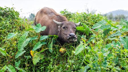 buffels eten thai gras in het veld van thailand
