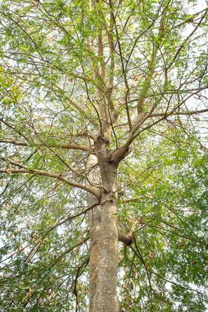 Tamarinde boom in het droge seizoen van thailand Stockfoto
