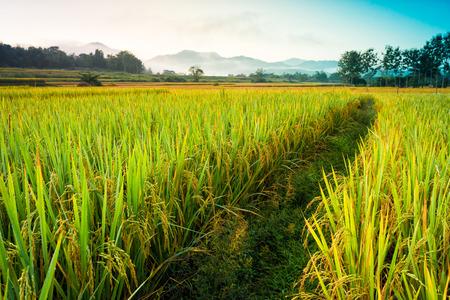 rijstveld van thailand met blauwe lucht en wolken mist mistige vroege ochtend tijdig op de achtergrond Stockfoto