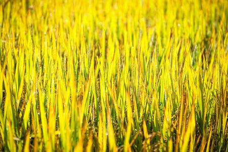 close-up groen blad van padie in geplaatst met bokeh
