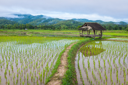 old hut in field rice farm fog and mountain in background of thailand in morning time Stock Photo
