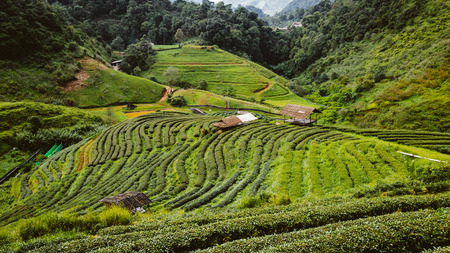 Green tea farm on high mountain in thailand with hut Stock Photo