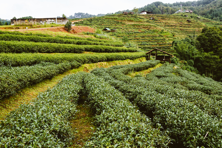 Groene thee boerderij op hight bergen in Thailand met hut Stockfoto