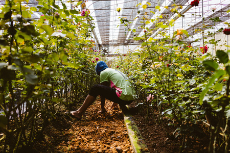 farmer woking in rose  flower garden in day time with color filter Stock Photo