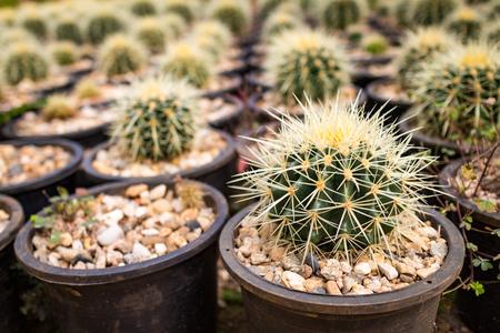 Close-up kleine vele cactus in de potten in de tuin